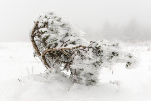 Wind Swept Bush On Morridge Moor