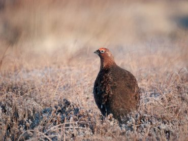 Grouse on Staffordshire Moorlands