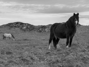 Wild horses roam Llanddwyn Island, they can be a little skittish at times so caution is needed if you want to try and photography them, or a wide zoom lens.